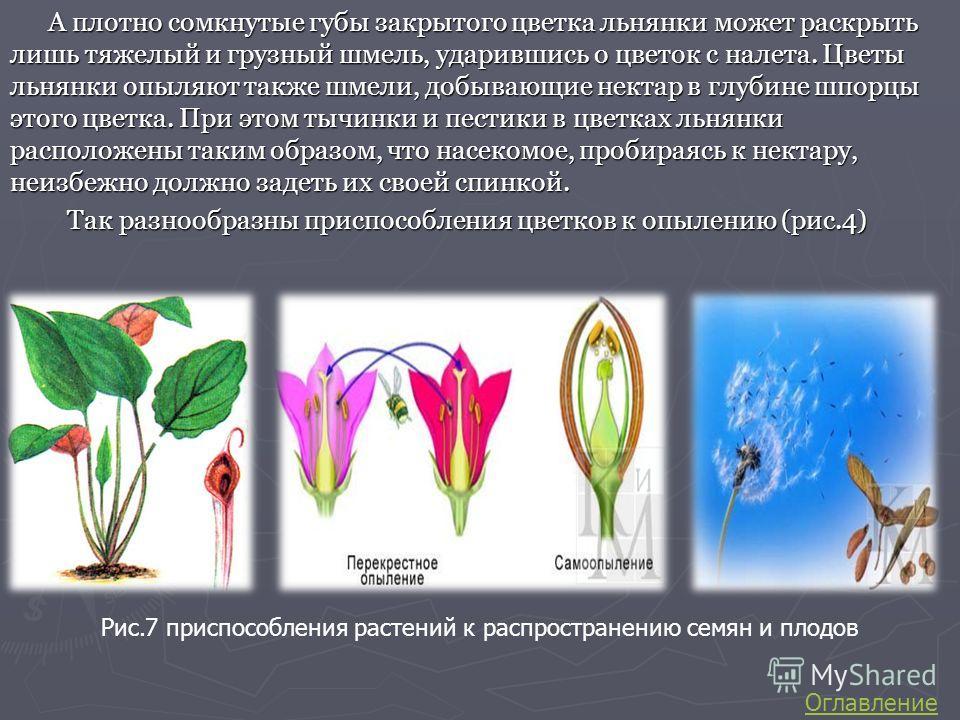 А плотно сомкнутые губы закрытого цветка льнянки может раскрыть лишь тяжелый и грузный шмель, ударившись о цветок с налета. Цветы льнянки опыляют также шмели, добывающие нектар в глубине шпорцы этого цветка. При этом тычинки и пестики в цветках льнян