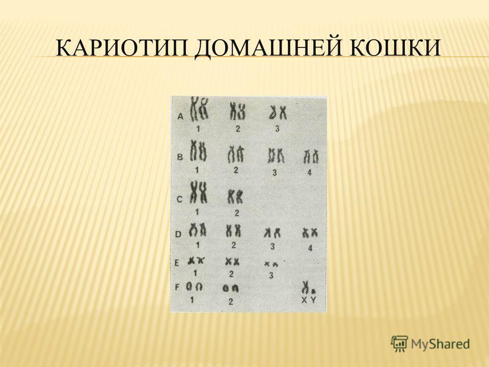 КАРИОТИП ДОМАШНЕЙ КОШКИ