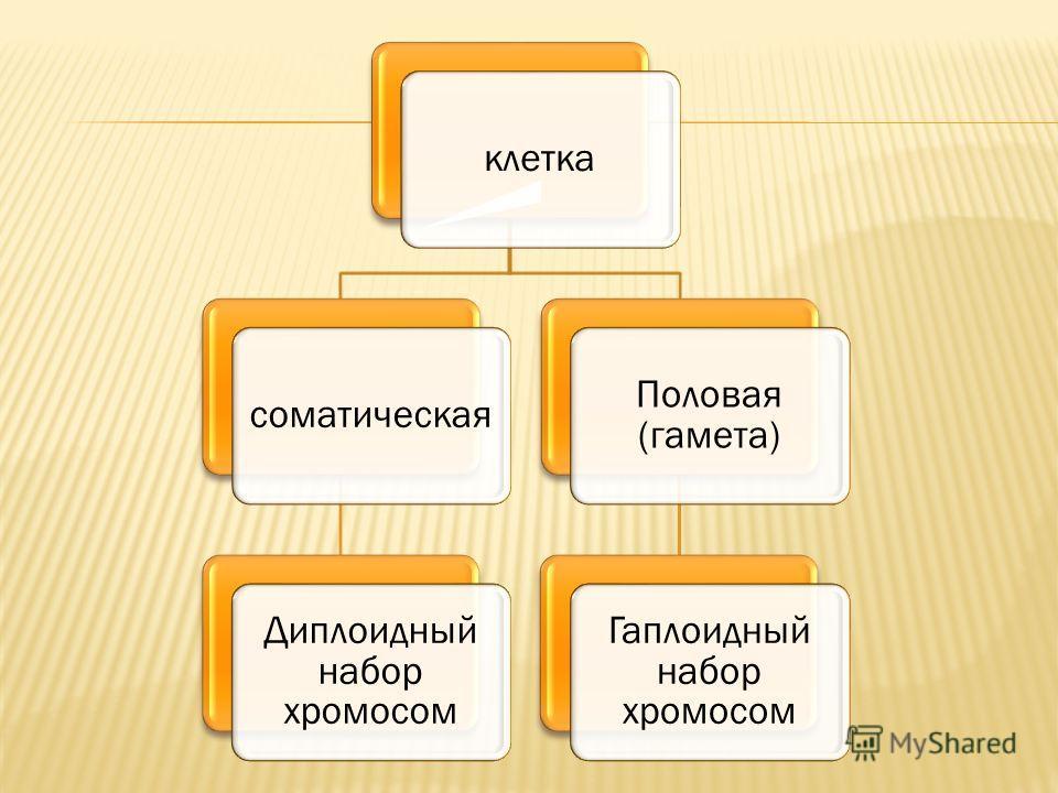 клеткасоматическая Диплоидный набор хромосом Половая (гамета) Гаплоидный набор хромосом