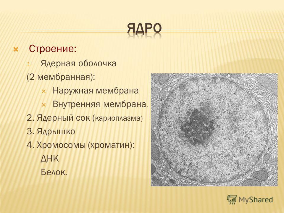 Строение: 1. Ядерная оболочка (2 мембранная): Наружная мембрана Внутренняя мембрана. 2. Ядерный сок ( кариоплазма) 3. Ядрышко 4. Хромосомы (хроматин): ДНК Белок.