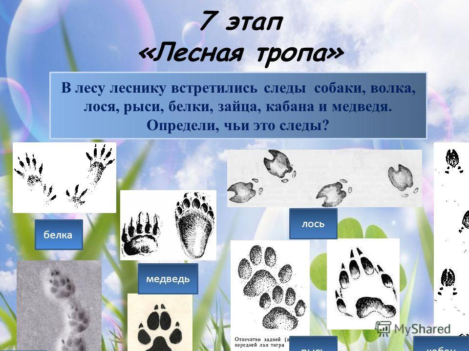 7 этап «Лесная тропа» В лесу леснику встретились следы собаки, волка, лося, рыси, белки, зайца, кабана и медведя. Определи, чьи это следы? белка медведь заяц лось кабан собака рысь