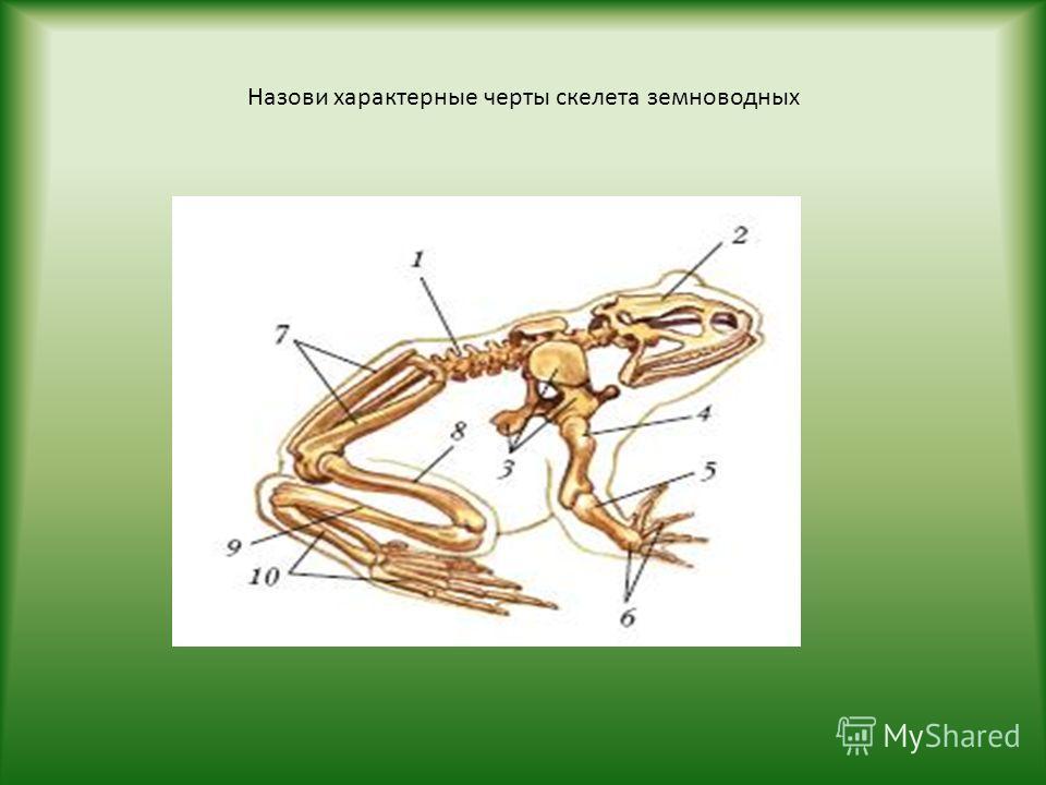 Назови характерные черты скелета земноводных