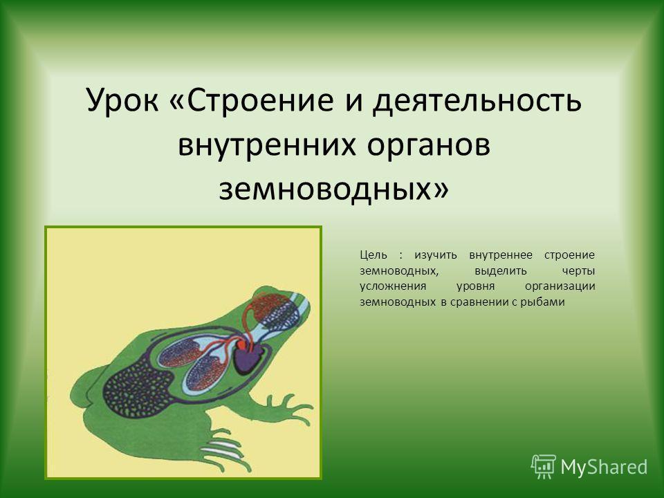 Урок «Строение и деятельность внутренних органов земноводных» Цель : изучить внутреннее строение земноводных, выделить черты усложнения уровня организации земноводных в сравнении с рыбами