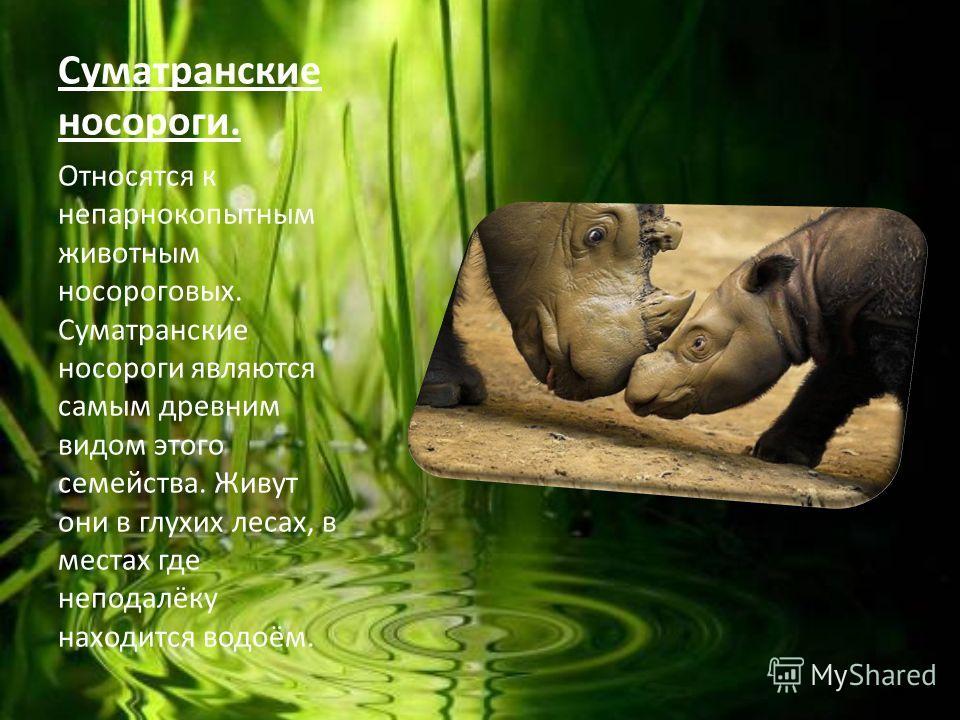 Суматранские носороги. Относятся к непарнокопытным животным носороговых. Суматранские носороги являются самым древним видом этого семейства. Живут они в глухих лесах, в местах где неподалёку находится водоём.