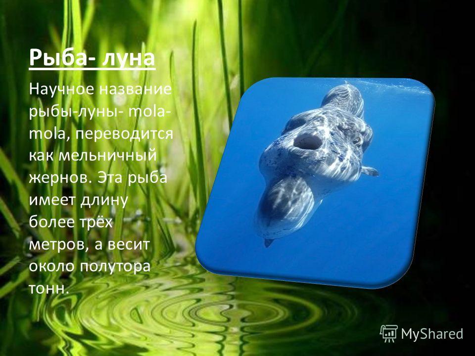 Рыба- луна Научное название рыбы-луны- mola- mola, переводится как мельничный жернов. Эта рыба имеет длину более трёх метров, а весит около полутора тонн.