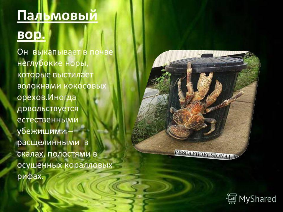 Пальмовый вор. Он выкапывает в почве неглубокие норы, которые выстилает волокнами кокосовых орехов.Иногда довольствуется естественными убежищими – расщелинными в скалах, полостями в осушенных коралловых рифах.