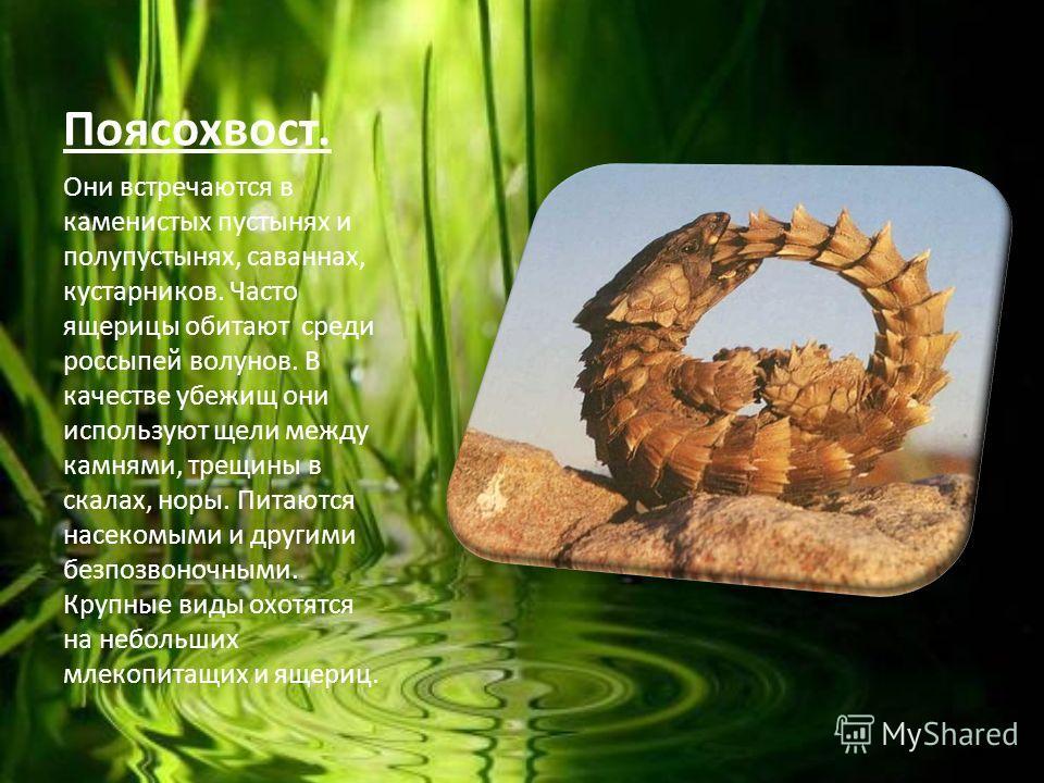 Поясохвост. Они встречаются в каменистых пустынях и полупустынях, саваннах, кустарников. Часто ящерицы обитают среди россыпей волунов. В качестве убежищ они используют щели между камнями, трещины в скалах, норы. Питаются насекомыми и другими безпозво