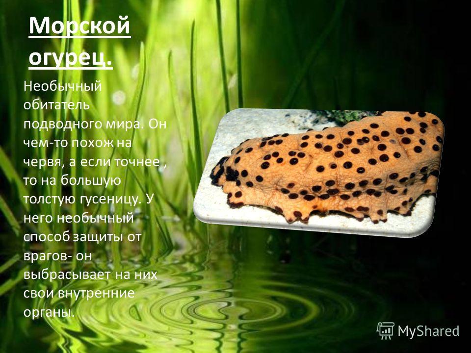 Морской огурец. Необычный обитатель подводного мира. Он чем-то похож на червя, а если точнее, то на большую толстую гусеницу. У него необычный способ защиты от врагов- он выбрасывает на них свои внутренние органы.