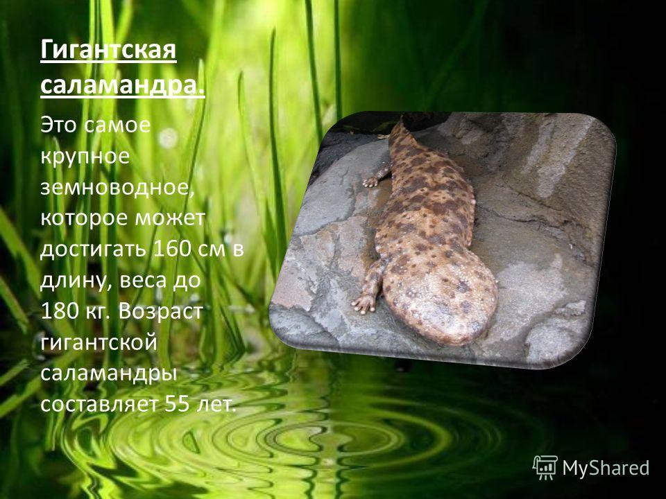Гигантская саламандра. Это самое крупное земноводное, которое может достигать 160 см в длину, веса до 180 кг. Возраст гигантской саламандры составляет 55 лет.