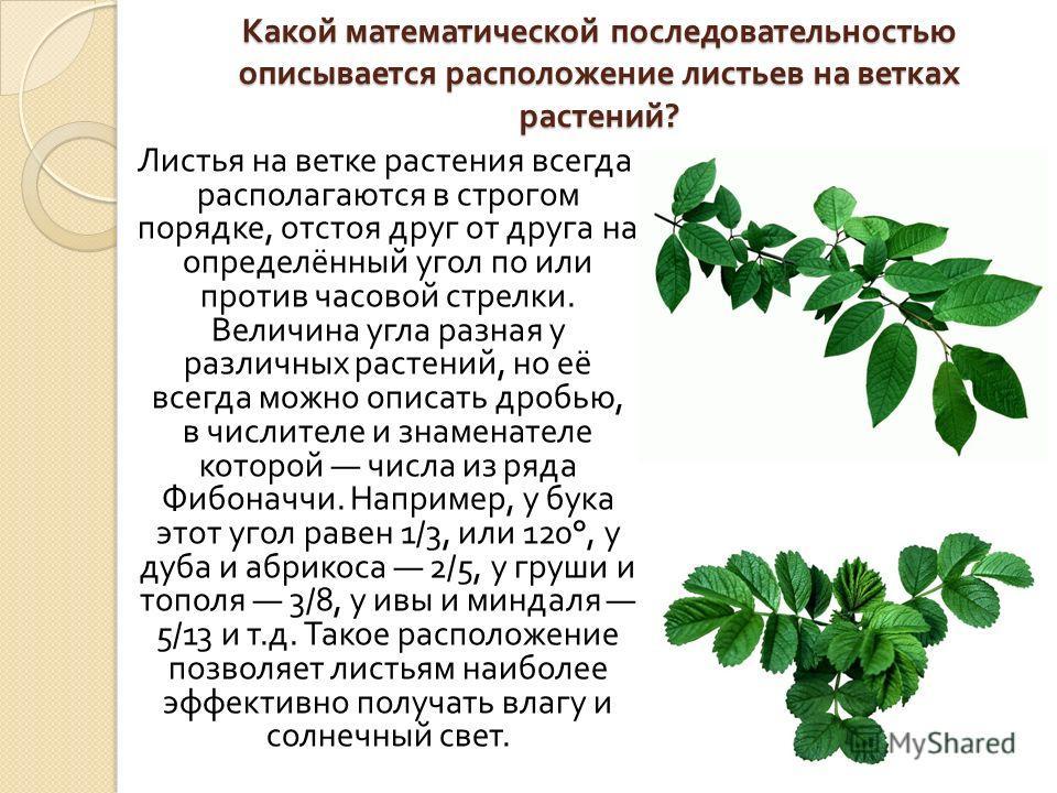 Какой математической последовательностью описывается расположение листьев на ветках растений ? Листья на ветке растения всегда располагаются в строгом порядке, отстоя друг от друга на определённый угол по или против часовой стрелки. Величина угла раз