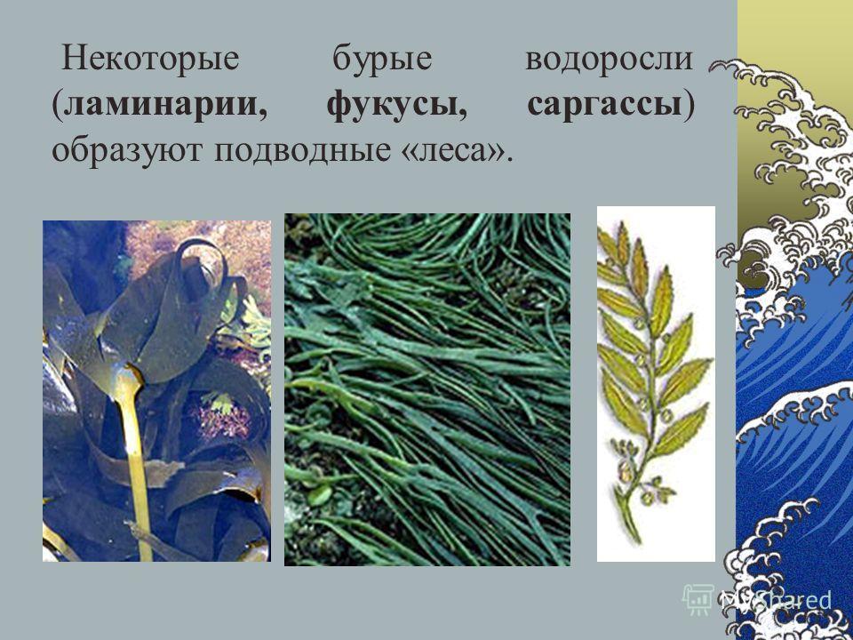 Некоторые бурые водоросли (ламинарии, фукусы, саргассы) образуют подводные «леса».