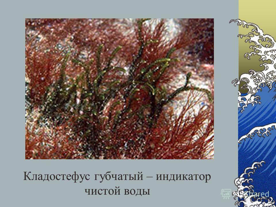 Кладостефус губчатый – индикатор чистой воды