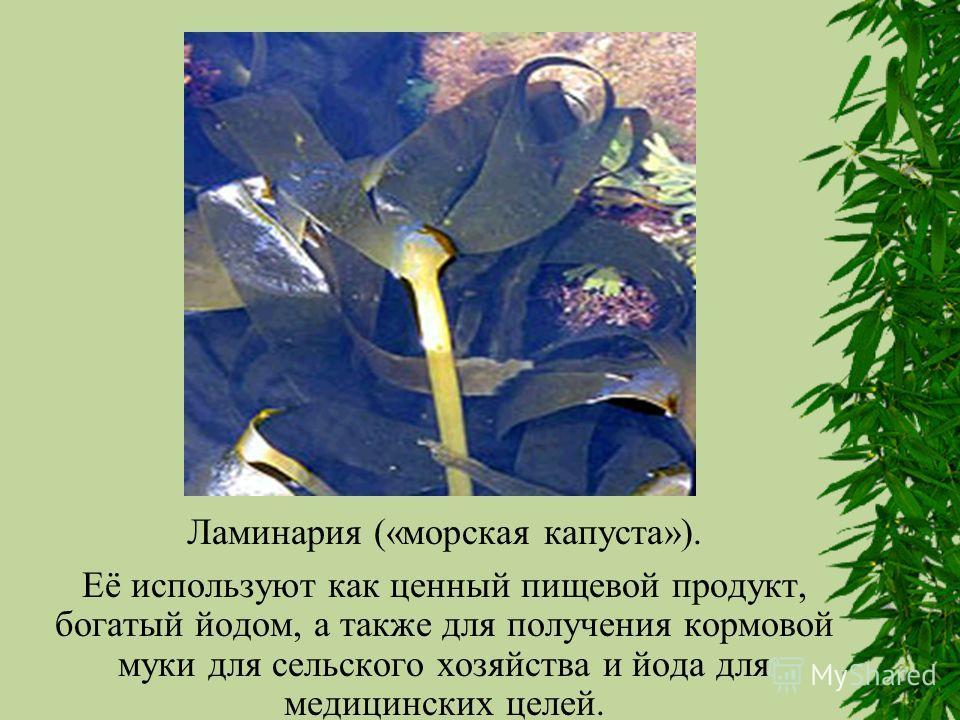 Ламинария («морская капуста»). Её используют как ценный пищевой продукт, богатый йодом, а также для получения кормовой муки для сельского хозяйства и йода для медицинских целей.