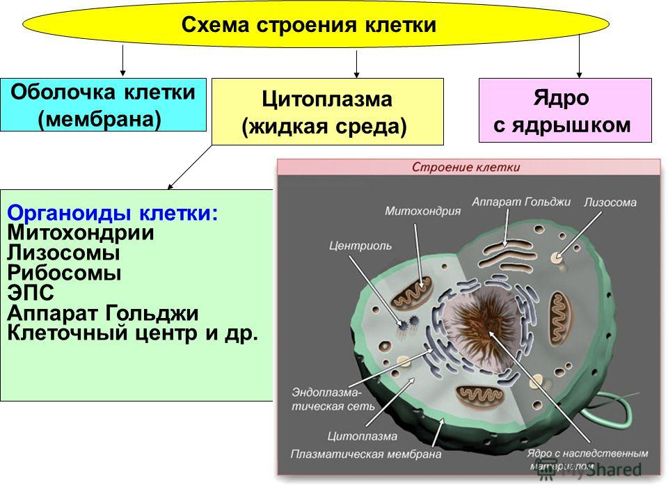 Схема тканей человека