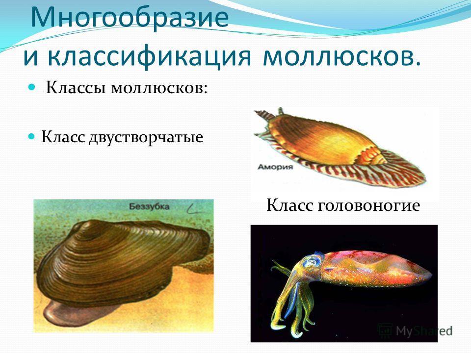 Многообразие и классификация моллюсков. Классы моллюсков: Класс двустворчатые Класс головоногие