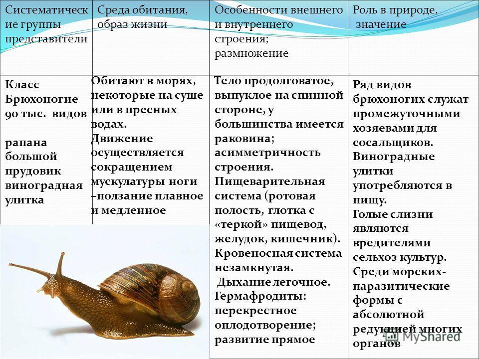 Систематическ ие группы представители Среда обитания, образ жизни Особенности внешнего и внутреннего строения; размножение Роль в природе, значение Класс Брюхоногие 90 тыс. видов рапана большой прудовик виноградная улитка Обитают в морях, некоторые н
