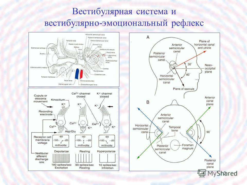 3 Вестибулярная система и вестибулярно-эмоциональный рефлекс