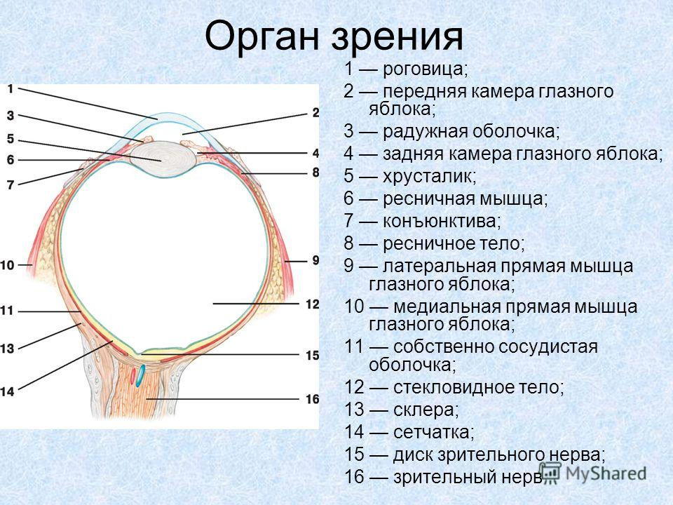 Орган зрения 1 роговица; 2 передняя камера глазного яблока; 3 радужная оболочка; 4 задняя камера глазного яблока; 5 хрусталик; 6 ресничная мышца; 7 конъюнктива; 8 ресничное тело; 9 латеральная прямая мышца глазного яблока; 10 медиальная прямая мышца