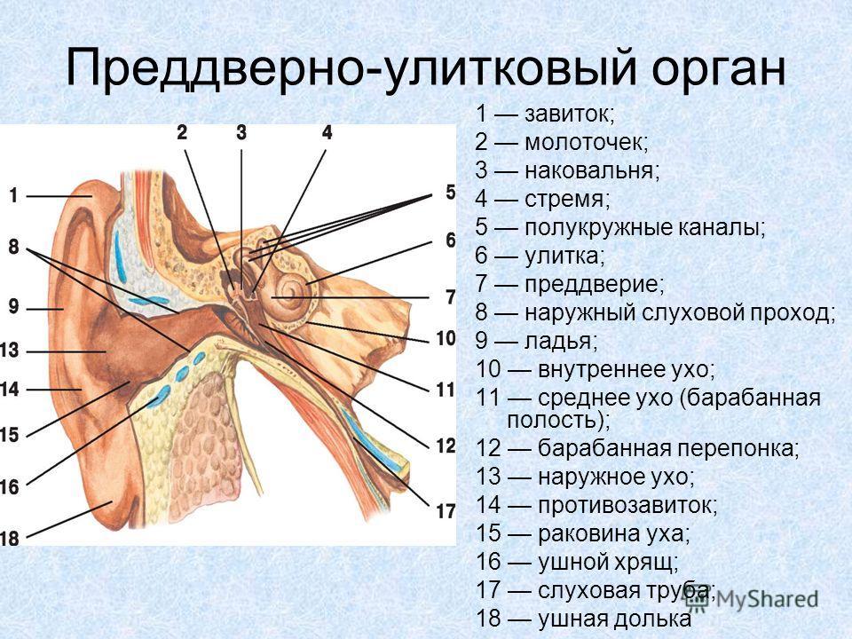 Преддверно-улитковый орган 1 завиток; 2 молоточек; 3 наковальня; 4 стремя; 5 полукружные каналы; 6 улитка; 7 преддверие; 8 наружный слуховой проход; 9 ладья; 10 внутреннее ухо; 11 среднее ухо (барабанная полость); 12 барабанная перепонка; 13 наружное