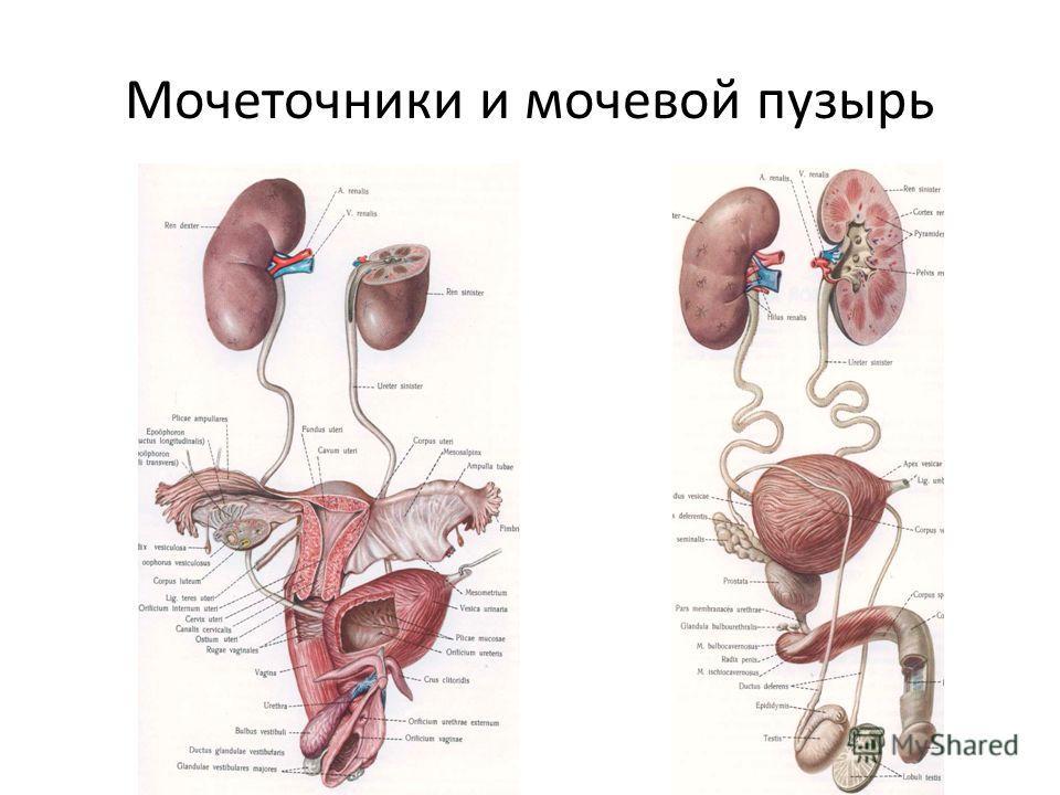 Мочеточники и мочевой пузырь