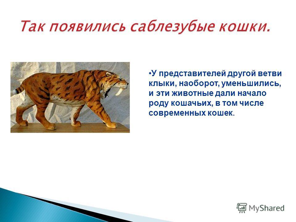 У представителей другой ветви клыки, наоборот, уменьшились, и эти животные дали начало роду кошачьих, в том числе современных кошек.