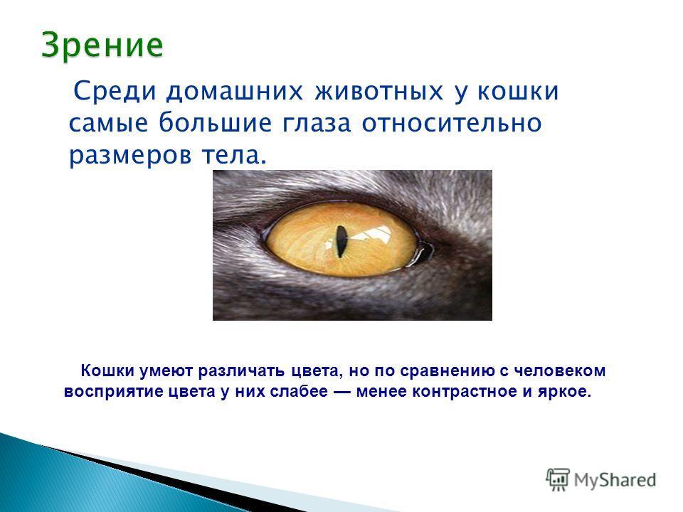 Среди домашних животных у кошки самые большие глаза относительно размеров тела. Кошки умеют различать цвета, но по сравнению с человеком восприятие цвета у них слабее менее контрастное и яркое.