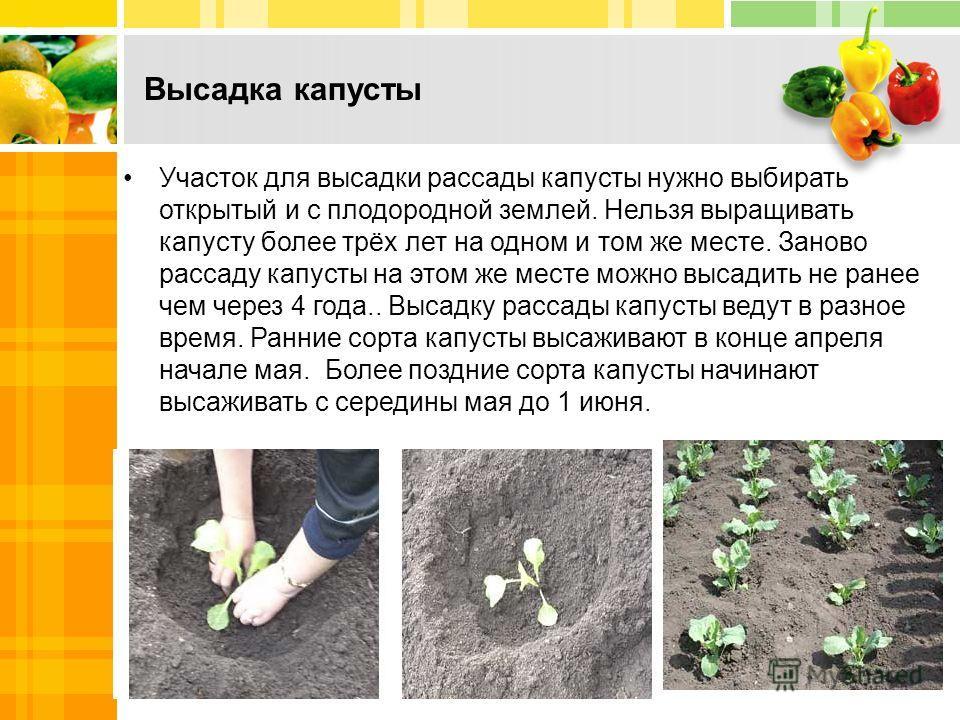 Высадка капусты Участок для высадки рассады капусты нужно выбирать открытый и с плодородной землей. Нельзя выращивать капусту более трёх лет на одном и том же месте. Заново рассаду капусты на этом же месте можно высадить не ранее чем через 4 года.. В