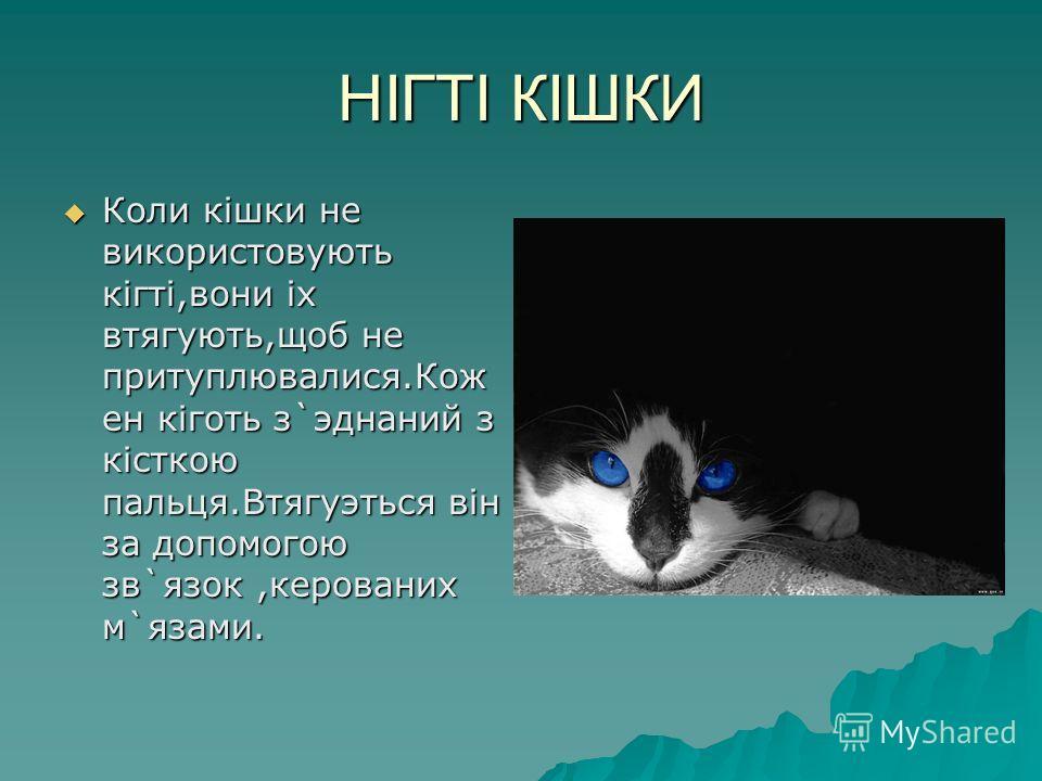 НIГТI КIШКИ Коли кiшки не використовують кiгтi,вони iх втягують,щоб не притуплювалися.Кож ен кiготь з`эднаний з кiсткою пальця.Втягуэться вiн за допомогою зв`язок,керованих м`язами.