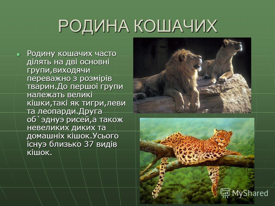 РОДИНА КОШАЧИХ Родину кошачих часто дiлять на двi основнi групи,виходячи переважно з розмiрiв тварин.До першоi групи належать великi кiшки,такi як тигри,леви та леопарди.Друга об`эднуэ рисей,а також невеликих диких та домашнiх кiшок.Усього iснуэ близ
