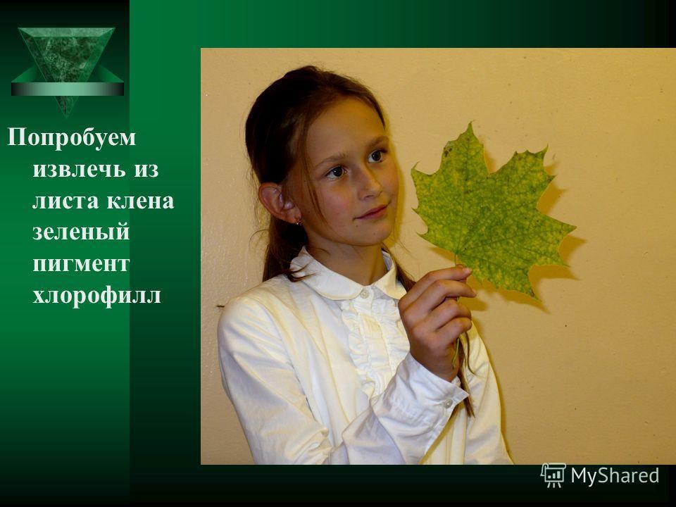 Попробуем извлечь из листа клена зеленый пигмент хлорофилл