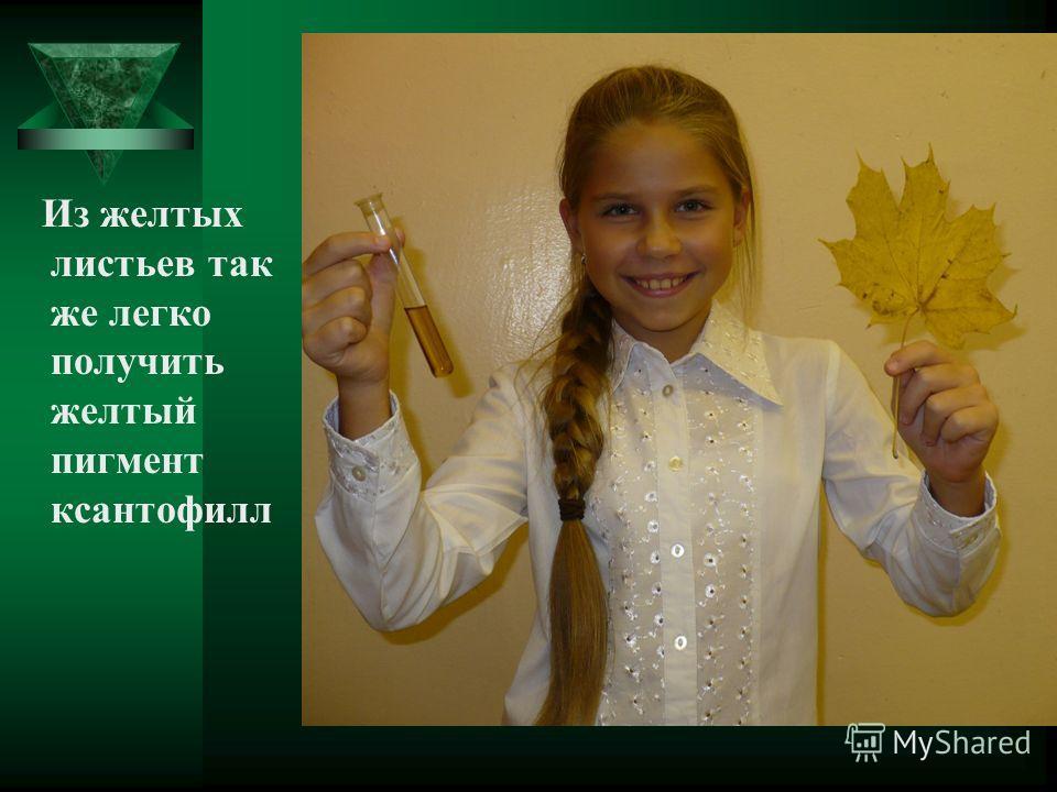 Из желтых листьев так же легко получить желтый пигмент ксантофилл