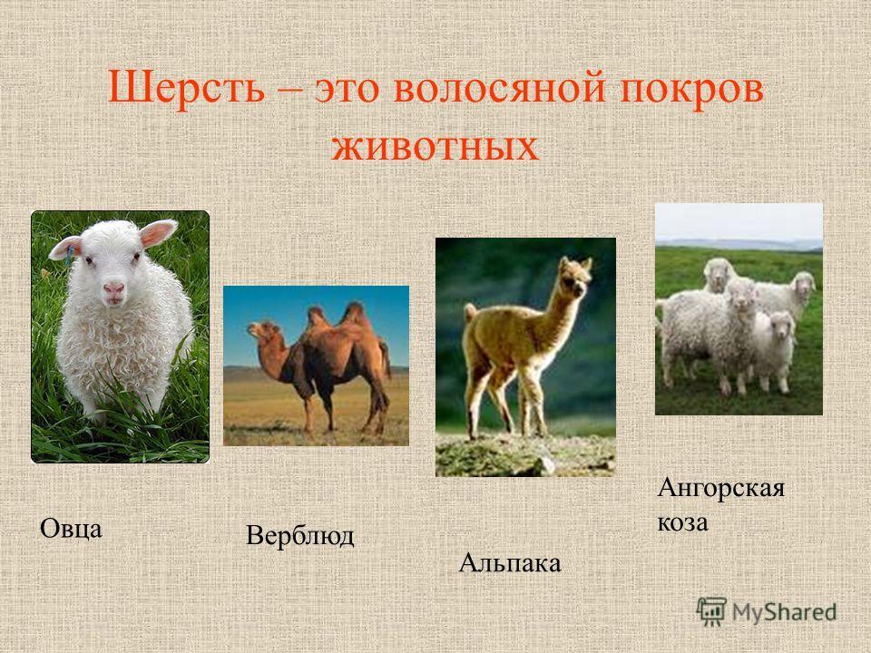 Шерсть – это волосяной покров животных Овца Верблюд Альпака Ангорская коза