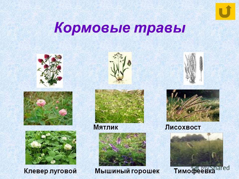 Кормовые травы Мятлик Лисохвост Клевер луговой Мышиный горошек Тимофеевка