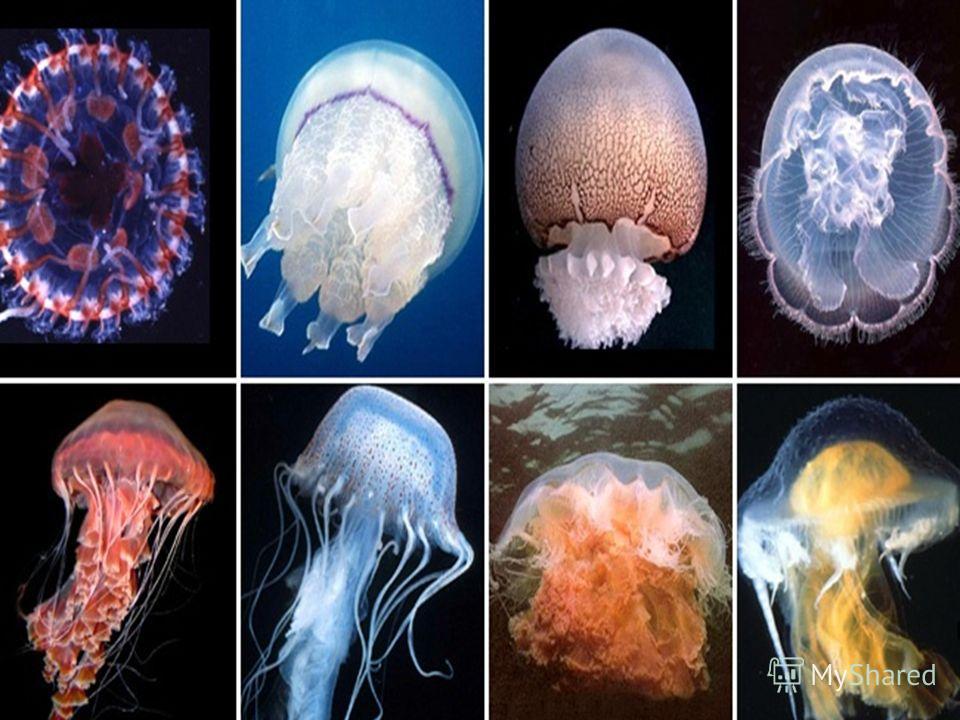Вот какой прозрачный зонтик В глубине соленых вод По делам своим плывет.