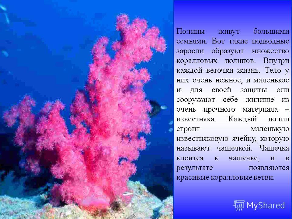 Полипы живут большими семьями. Вот такие подводные заросли образуют множество коралловых полипов. Внутри каждой веточки жизнь. Тело у них очень нежное, и маленькое и для своей защиты они сооружают себе жилище из очень прочного материала – известняка.