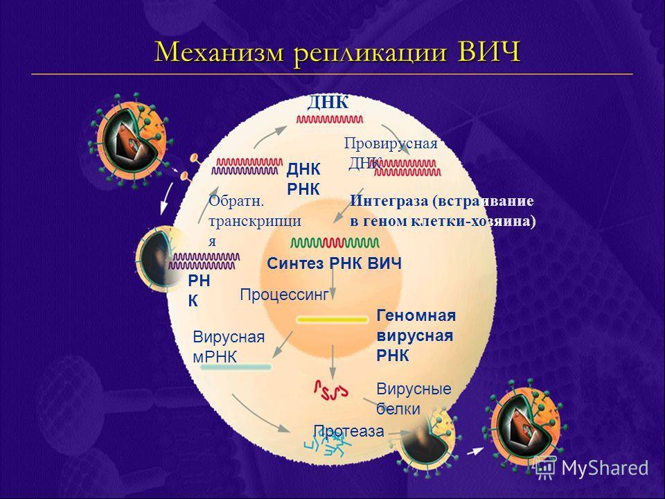 РН К Механизм репликации ВИЧ Обратн. транскрипци я ДНК РНК ДНК Провирусная ДНК Интеграза (встраивание в геном клетки-хозяина) Синтез РНК ВИЧ Процессинг Геномная вирусная РНК Вирусная мРНК Вирусные белки Протеаза
