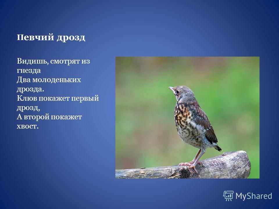 П евчий дрозд Видишь, смотрят из гнезда Два молоденьких дрозда. Клюв покажет первый дрозд, А второй покажет хвост.