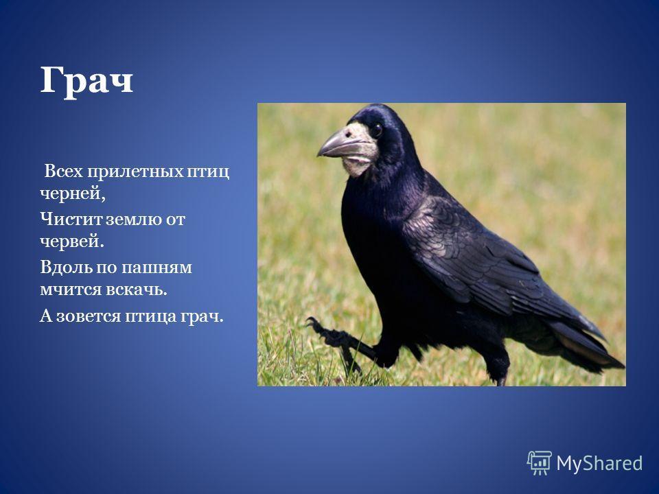 Грач Всех прилетных птиц черней, Чистит землю от червей. Вдоль по пашням мчится вскачь. А зовется птица грач.