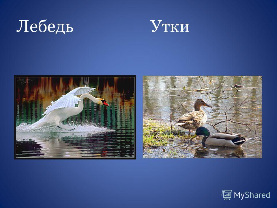 Лебедь Утки