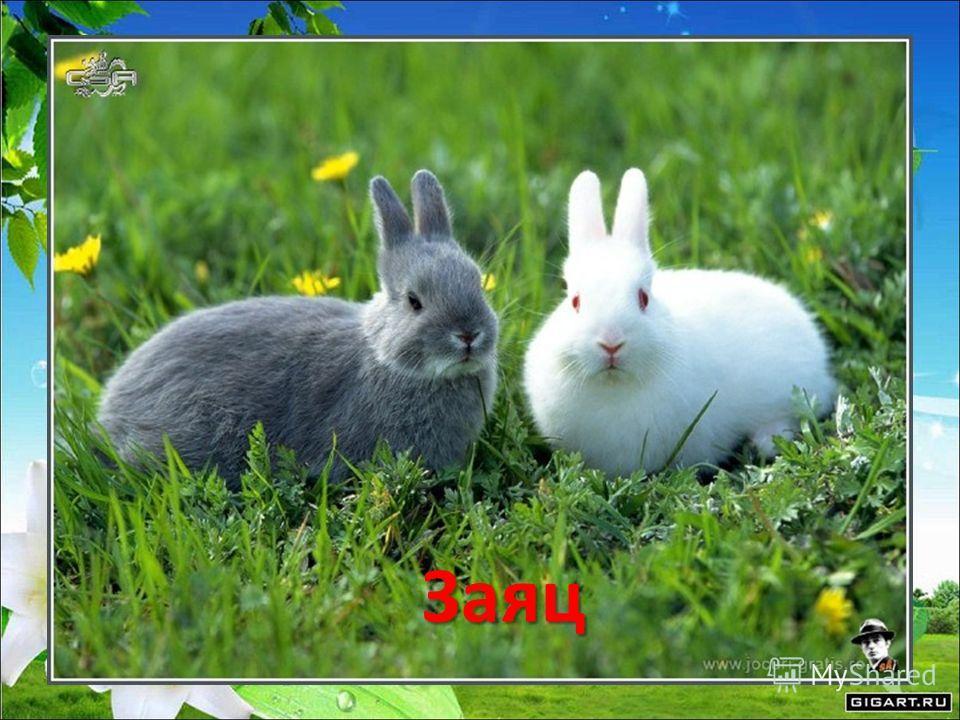 Зверька узнаем мы с тобой По двум таким приметам: Он в шубке беленькой зимой, А в серой шубке – летом. Заяц