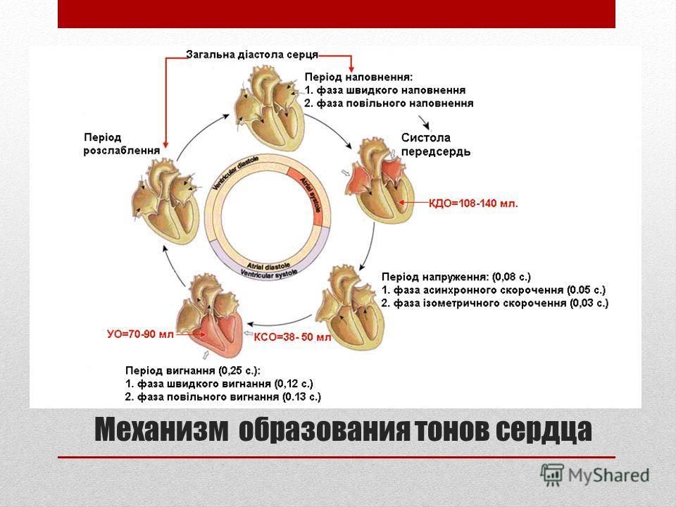 Механизм образования тонов сердца