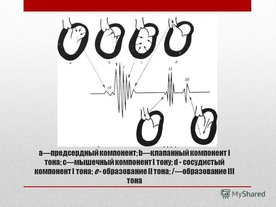 Образование тонов сердца aпредсердный компонент; bклапанный компонент І тона; cмышечный компонент І тону; d - сосудистый компонент І тона; e - образование ІІ тона; /образование ІІІ тона