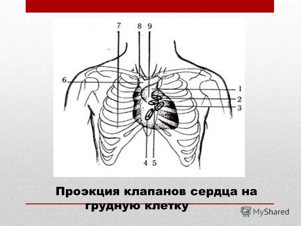 Проэкция клапанов сердца на грудную клетку