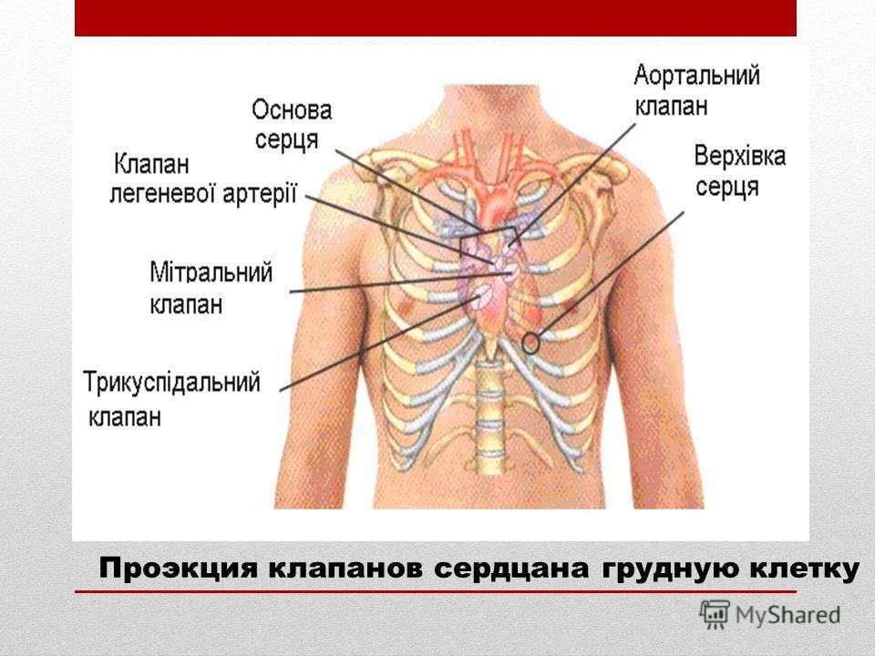 Проэкция клапанов сердцана грудную клетку