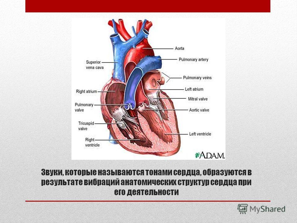 Звуки, которые называются тонами сердца, образуются в результате вибраций анатомических структур сердца при его деятельности