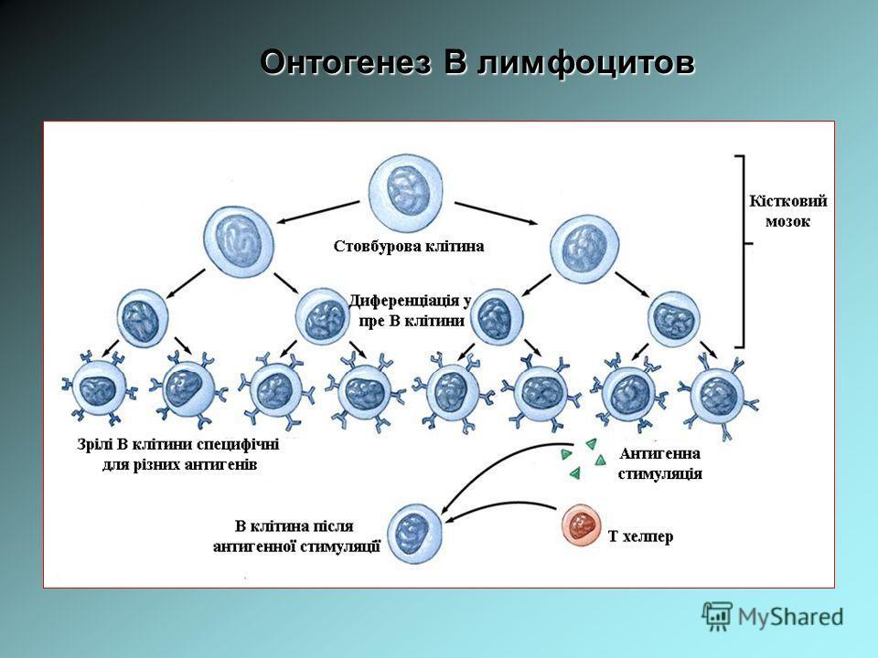 Онтогенез В лимфоцитов