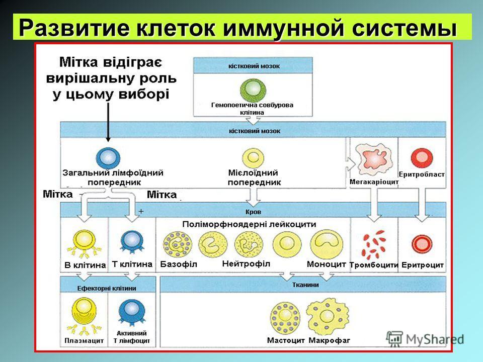 Развитие клеток иммунной системы