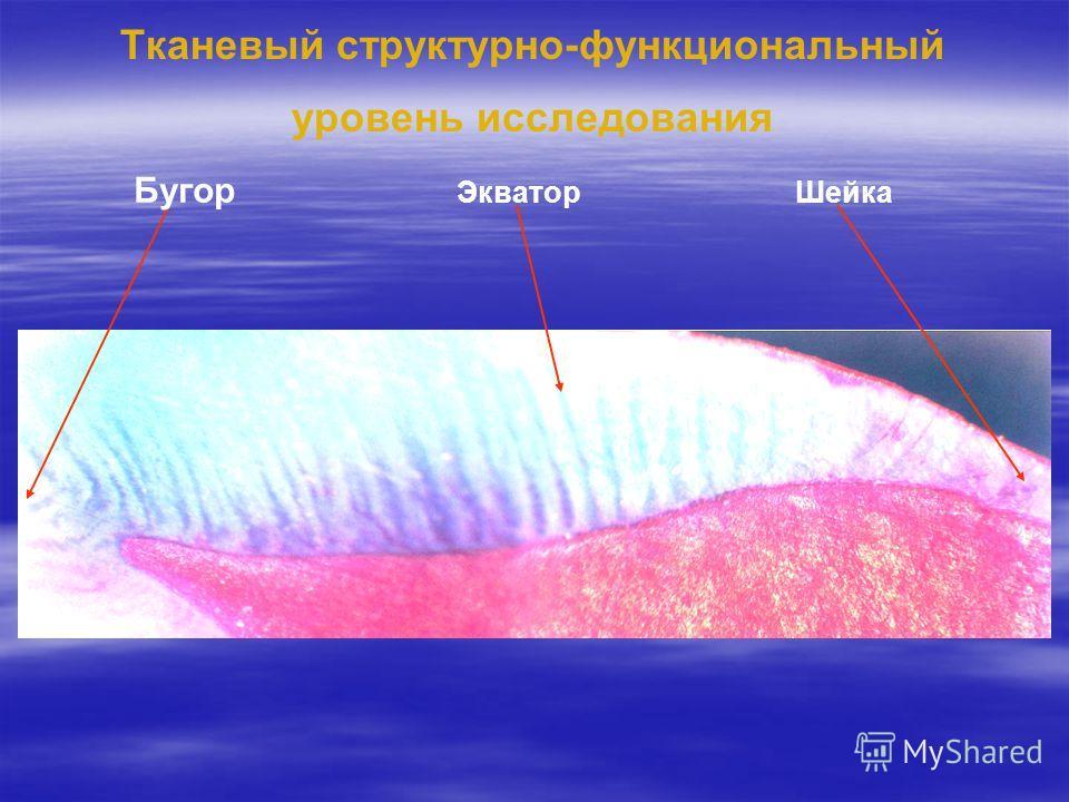 Тканевый структурно-функциональный уровень исследования Бугор ЭкваторШейка