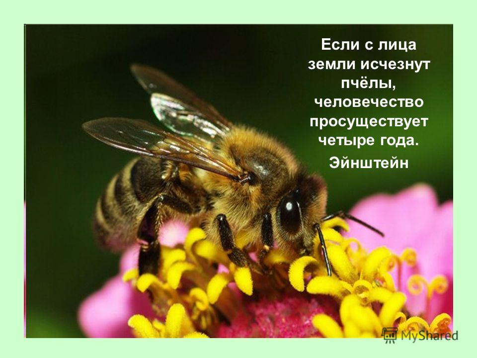 Если с лица земли исчезнут пчёлы, человечество просуществует четыре года. Эйнштейн