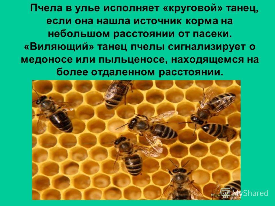 Пчела в улье исполняет «круговой» танец, если она нашла источник корма на небольшом расстоянии от пасеки. «Виляющий» танец пчелы сигнализирует о медоносе или пыльценосе, находящемся на более отдаленном расстоянии.